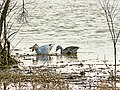 Snow goose migration at Squaw Creek National Wildlife Refuge, Feb 2013, 44.JPG