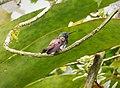 Snowy-bellied Hummingbird Amazilia edward - Flickr - gailhampshire (2).jpg