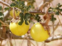 Solanum sodomeum ripe fruit.jpg