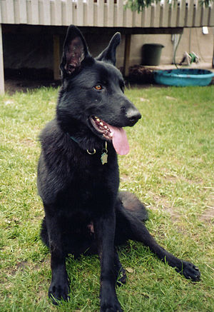 English: Solid black, 1-year-old German Shephe...