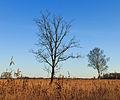 Solitaire bomen in zompig rietland. Nationaal Park Weerribben-Wieden 01.jpg