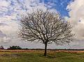 Solitaire eik (Quercus robur) in een imponerend landschap. Locatie, natuurgebied Delleboersterheide – Catspoele 04.jpg