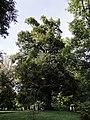 Sommer-Linde im Schlosspark Welzenegg.jpg