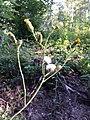 Sonchus arvensis subsp. arvensis sl2.jpg