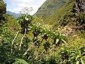 Sonchus fruticosus - Levada das 25 Fontes - 2.jpg