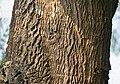 Sonjna (Moringa oleifera) trunk at Narendrapur W IMG 4175.jpg