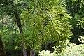 Sophora microphylla in Eastwoodhill Arboretum (7).jpg