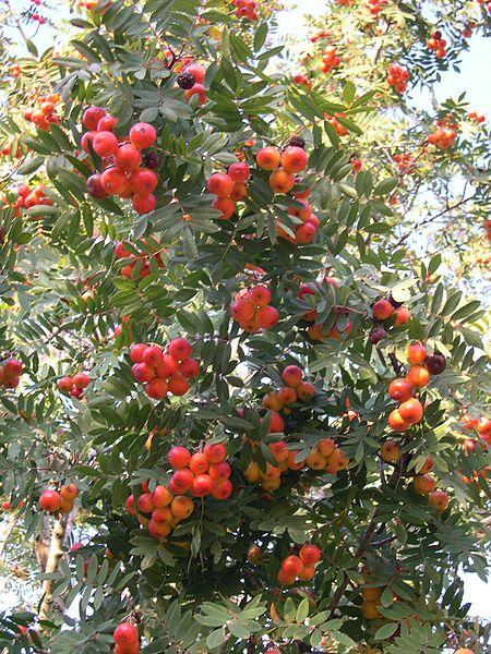 fruits du sorbier domestique