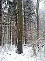 Sosna Jeefreya Pomnik przyrody - panoramio.jpg