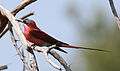 Southern carmine bee-eater, Merops nubicoides, at Mapungubwe National Park, Limpopo, South Africa (24209829396).jpg