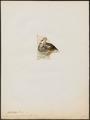 Spatula capensis - 1820-1863 - Print - Iconographia Zoologica - Special Collections University of Amsterdam - UBA01 IZ17600485.tif