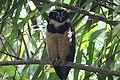 Spectacled Owl (41316923761).jpg