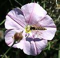Sphaerophoria sp. (male) - Spain - Flickr - S. Rae.jpg