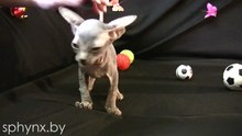 File:Sphynx kitten from Belarus - March 2012 - HD.ogv
