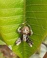 Spider on Plumeria rubra.jpg