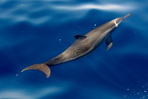 Bay of Bengal - A spinner dolphin in Bay of Bengal