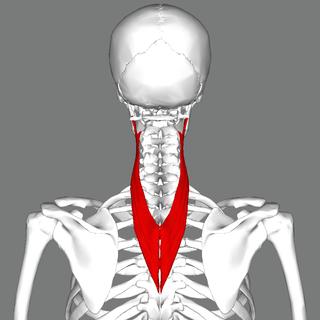 ファイル:Splenius cervicis muscle back.png