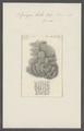 Spongia basta - - Print - Iconographia Zoologica - Special Collections University of Amsterdam - UBAINV0274 112 02 0011.tif