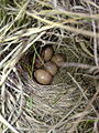 Sprague's Pipit, Anthus spragueii, bird eggs in domed nest AB Canada.jpg