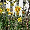 Spring flowers and picket fence.JPG