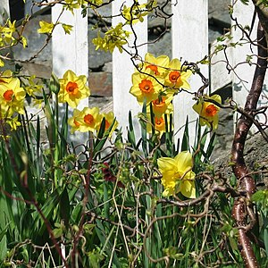 English: Spring flowerw and a picket fence