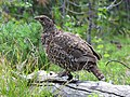 Spruce Grouse female (15197713461).jpg