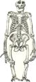 Squelette gorille.png