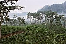 Sri Lanka Economy - Page 6 225px-Sri_Lanka-Tea_plantation-02