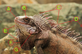 St Thomas Marriott Iguana tagged.png