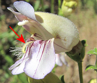 Staminode - The arrow points to the hairy staminode of a Grinnell's Penstemon (Penstemon grinellii) flower