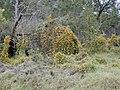 Starr-010419-0046-Thunbergia alata-habit in scrub-Kula-Maui (24164459339).jpg
