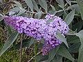 Starr-010717-0052-Buddleja davidii-flowers-Kula-Maui (23904861674).jpg