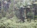 Starr-011205-0063-Archontophoenix alexandrae-habit-Hwy11-Hawaii (24543840265).jpg