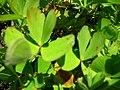 Starr-050303-4822-Marsilea villosa-leaves-Maui Nui Botanical Garden-Maui (24739798345).jpg