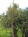 Starr-060429-9446-Charpentiera obovata-habit-Auwahi-Maui (24234357264).jpg