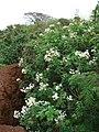 Starr-081230-0663-Montanoa hibiscifolia-habit in gully-Upper Kaulana-Kahoolawe (24809280112).jpg