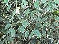 Starr-090720-3019-Polyscias guilfoylei-leaves-Waiehu-Maui (24674603550).jpg
