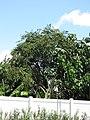 Starr-090814-4392-Adenanthera pavonina-habit-Kihei-Maui (24345517713).jpg