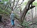 Starr-091115-1192-Aleurites moluccana-large trunk with Forest-Olinda-Maui (24872035282).jpg