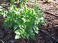 Starr-110731-8127-Solanum tuberosum-habit-Hawea Pl Olinda-Maui (25008985661).jpg
