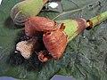Starr-111214-1663-Ochroma pyramidale-flower-Waihee-Maui (25002489162).jpg