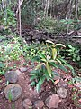 Starr-120229-2775-Syzygium malaccense-planting-Waikapu Valley-Maui (24768339429).jpg