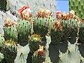 Starr-120430-5379-Opuntia ficus indica-fruit-Kula-Maui (24513850553).jpg