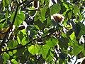 Starr-120522-5900-Ochroma pyramidale-seeds and leaves-Iao Tropical Gardens of Maui-Maui (25024603492).jpg
