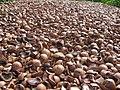 Starr-130214-1532-Macadamia integrifolia-lots of shells-Waihee-Maui (25087420122).jpg