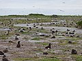 Starr-150403-0177-Brassica juncea-Laysan Albatrosses-Southeast Eastern Island-Midway Atoll (24649026803).jpg