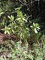 Starr 010425-0046 Pimenta dioica.jpg