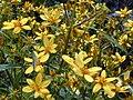 Starr 020622-0046 Bidens micrantha subsp. kalealaha.jpg