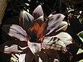 Starr 021212-0007 Cordyline fruticosa.jpg