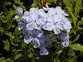 Starr 030418-0068 Plumbago auriculata.jpg